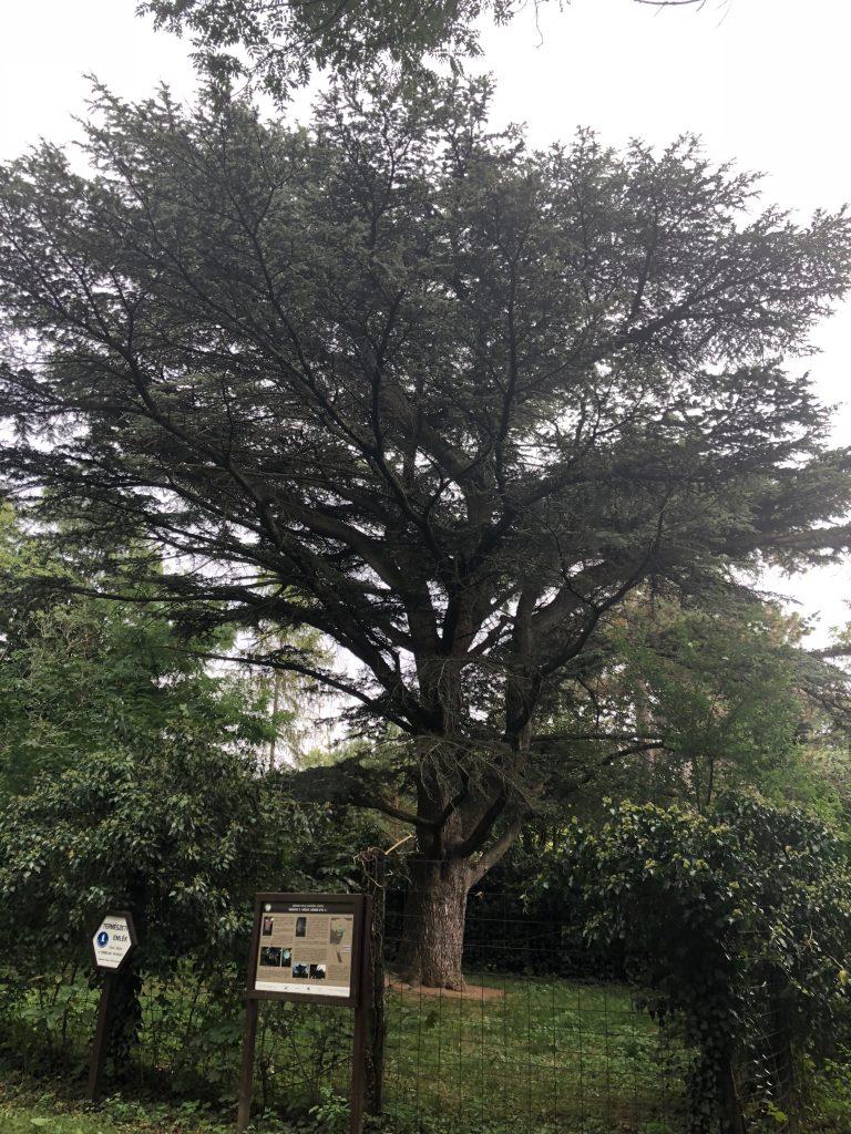 HHH Libanoni cédrus